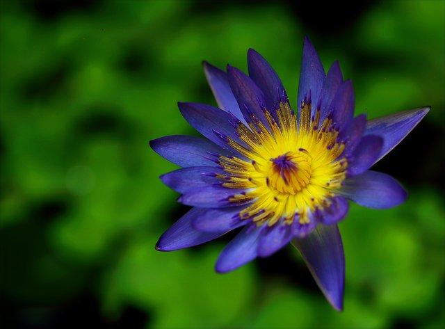 زهرة اللوتس