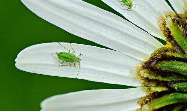حشرة المن
