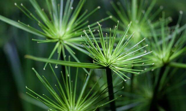 نبات البردى