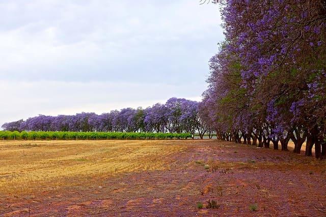 شجرة الجاكرندا