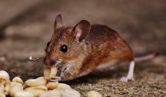 افضل طعم لصيد الفئران