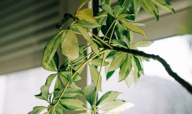 شجرة الحناء