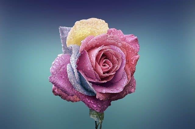 زهرة الكاميليا