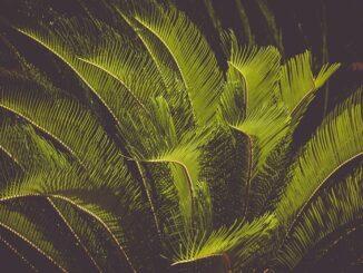 نبات السيكس